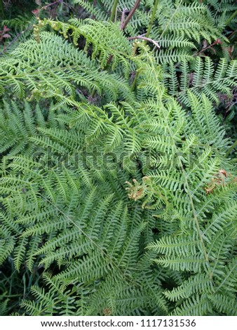 Close up of lush green fern plants with ridged spike leaves growing in thick woodland forest in English countryside in Summer sun #1117131536