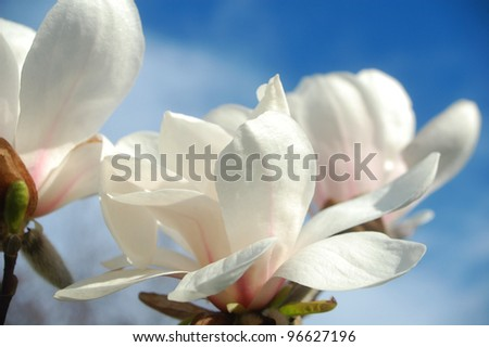 Close up  of magnolia flowers in springtime.