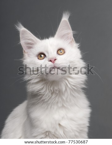 Close-up of Maine Coon, 5 months old, in front of grey background