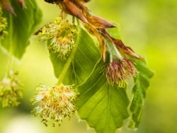 Close-up of male and female inflorescence European beech (Fagus sylvatica).