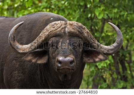 Close-up of male buffalo; Syncerus caffer; South Africa