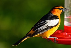 close up of male bullock's oriole perched on a hummingbird feeder in summer in broomfield, colorado
