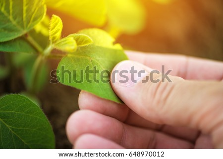 Close up of male farmer hand examining soybean plant leaf in cultivated agricultural field, agriculture and crop protection