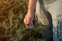 Close up of male farmer hand touching unripe green soybean plants in field, crop protection concept, selective focus