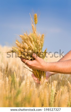 Close up of male hand holding bunch of wheat