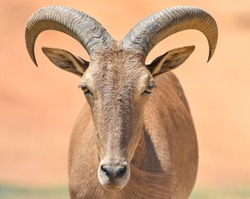 close up of male horned goat