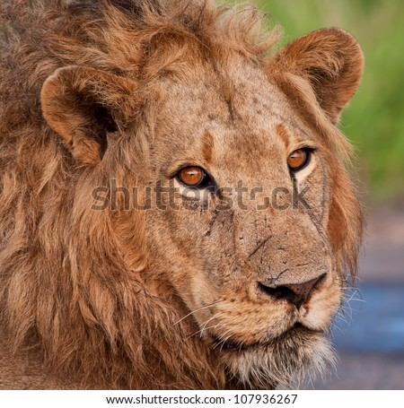 Close up of male lion's head
