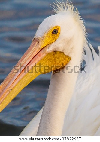Close up of male pelican in breeding plumage - stock photo