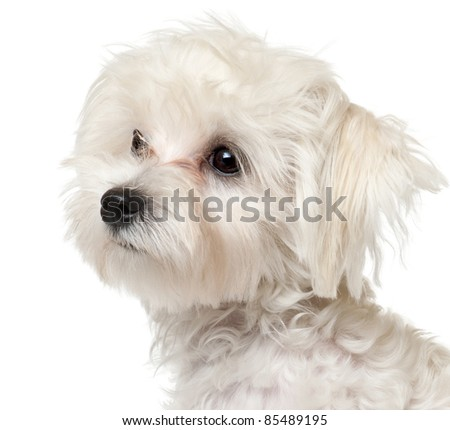 Close-up of Maltese puppy, 6 months old, in front of white background