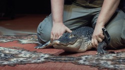 Close-up of man's hands holding a mid size wild crocodile on the carpet. Action. The taming of wild animals