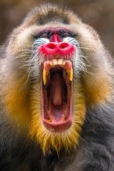 close up of mandrill monkey head