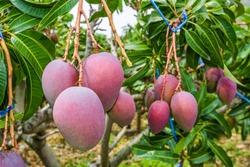 close up of mango fruit on a mango tree