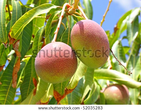 Close-up of mangoes on the branch of a tree