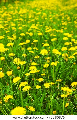 Close-up of many dandelion flowers at the field