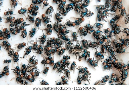 Close up of Many fly on the white background, Dirty insect and dead fly on the floor, Insect that carries disease and carrion of fly, Fly bug are important pest of destroy plants and others.