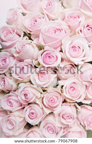 Close-Up of many pastel colored pink Roses