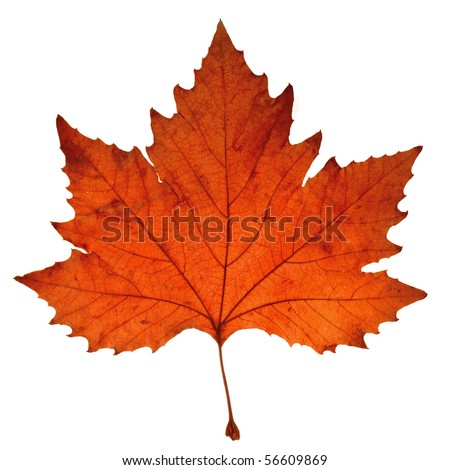 Close-up of maple autumn leaf on white #56609869