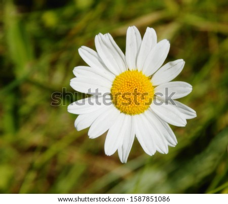 Close up of Marguerite daisy