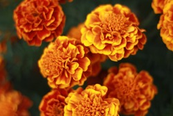 Close up of Marigold flowers (Tagetes erecta, Mexican, Aztec or African marigold) growing in the garden