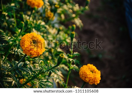 Close up of Marigolds flowers blooming against beautiful sunlight at the garden in Thailand. Marigolds flowers or (African marigold, Aztec marigold, African marigold) background with copy space. #1311105608
