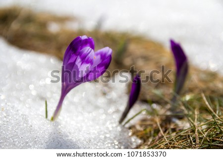 Close-up of marvelous blooming amazing first bright violet crocuses breaking through snow in Carpathian mountain valley. Ecology problems and beauty of nature concept.