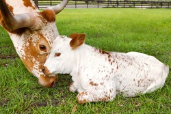 Close up of miniature Texas longhorn mother showing affection to calf in a grass field
