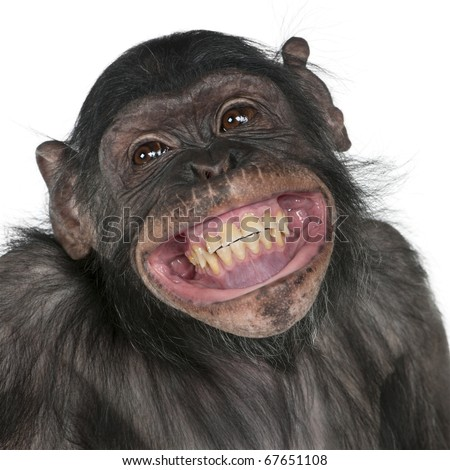 stock photo : Close-up of Mixed-Breed monkey between Chimpanzee and Bonobo smiling, 8 years old