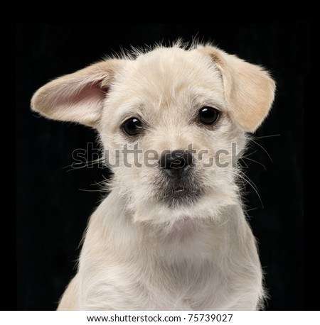 Close-up of Mixed-breed puppy, 4 months old, in front of black background