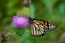 Close-up of Monarch butterfly getting nectar from a bright purple thistle flowerhead