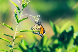 Close up of monarch butterfly on green plant.