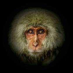 Close up of Monkey Portrait. Isolate on black background.