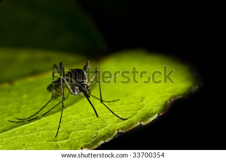 close-up of mosquito sitting on the leaf