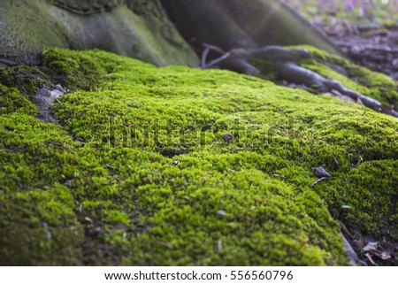 Close up of Moss on tree. Nature life background #556560796