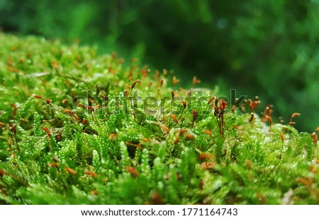 Close up of moss with sporophyte