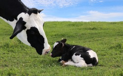 Close-up of mother Holstein cow's face watching over her tiny newborn calf laying in the meadow on a beautiful summer day