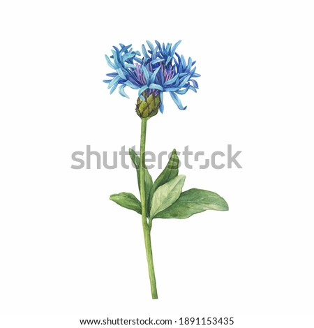 Close up of mountain cornflower blue flower. (Centaurea montana, bachelor's button, montane knapweed or mountain bluet). Watercolor hand drawn painting illustration isolated on white background. Foto stock ©