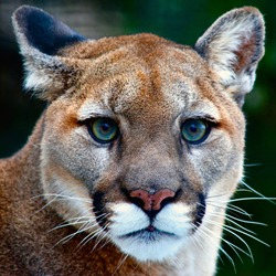 Close up of mountain lion looking at you