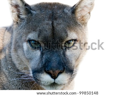 Close up of Mountain Lion (puma) - stock photo
