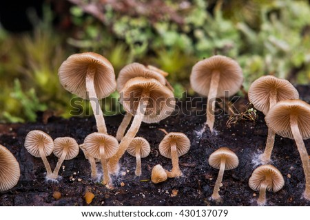 Close-Up of mushroom / A group of mushrooms toadstools , wild forest fungi , Small fungi , Fungi