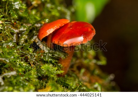 Close-Up of mushroom / A group of mushrooms toadstools , wild forest fungi , Small fungi , Fungi , Red Mushroom , Red Fungi