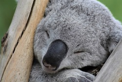 Close-up of muzzle and face of a Koala (Phascolarctos cinereus) sleeping among the branches