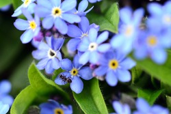 Close up of myosotis flowers with ant