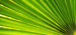 Close up of natural growing green palm leave texture background