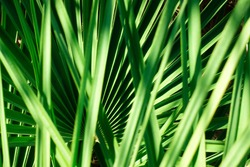 Close up of natural growing green palm leaves texture background