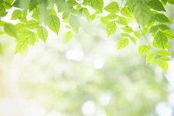 Close up of nature view green Millingtonia hortensis leaf on blurred greenery background with bokeh and copy space using as background nature plants landscape, ecology wallpaper concept.