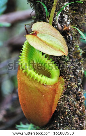 Close up of Nepenthes villosa - Pitcher plants in Mt Kinabalu National Park, Sabah, Borneo Mt Kinabalu National Park, Sabah, Borneo