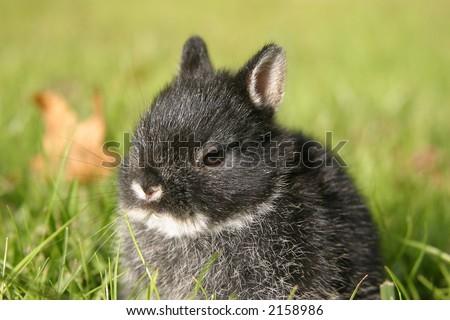 Close up of Netherland Dwarf rabbit. - stock photo