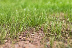 close-up of new grass growing on lawn with dry soil shot at shallow depth of field