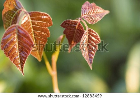 Close-up of new poison ivy leaves at sunrise.