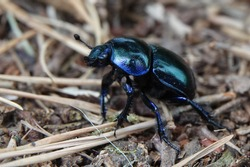 close up of of a Anoplotrupes stercorosus dor beetle, blue beetle in the woods. low angle photografy at the posbank Netherands. with copy space for text. vertaling: blauwe kever